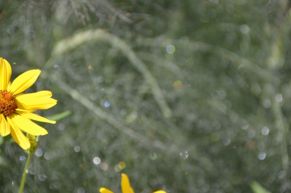 Summer Flower with Sparkling Dew on Dill